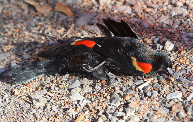 Dead Red-Wing Black Bird